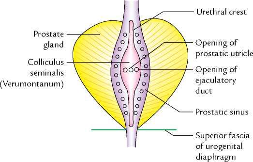 urethral crest