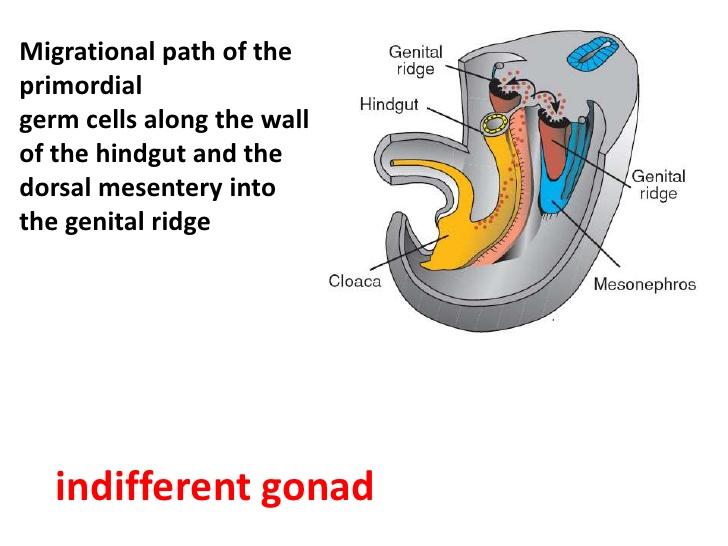 urogenital mesentery