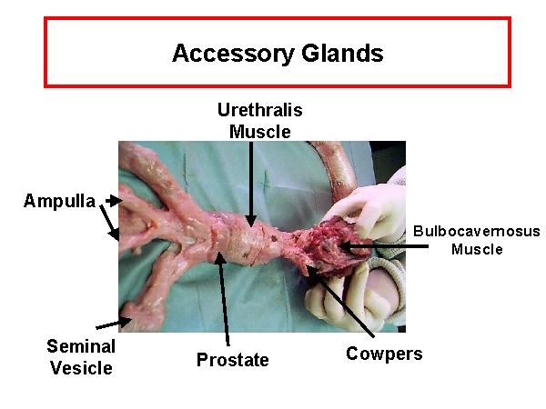 accessory gland