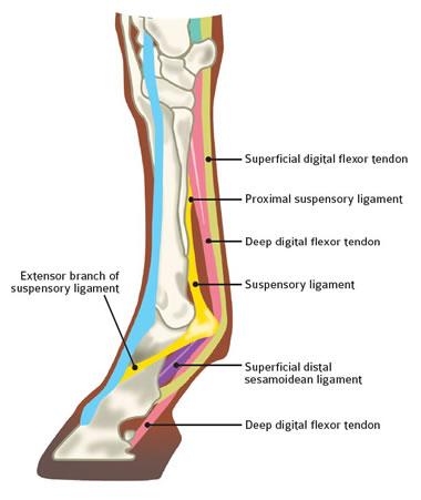 accessory ligament