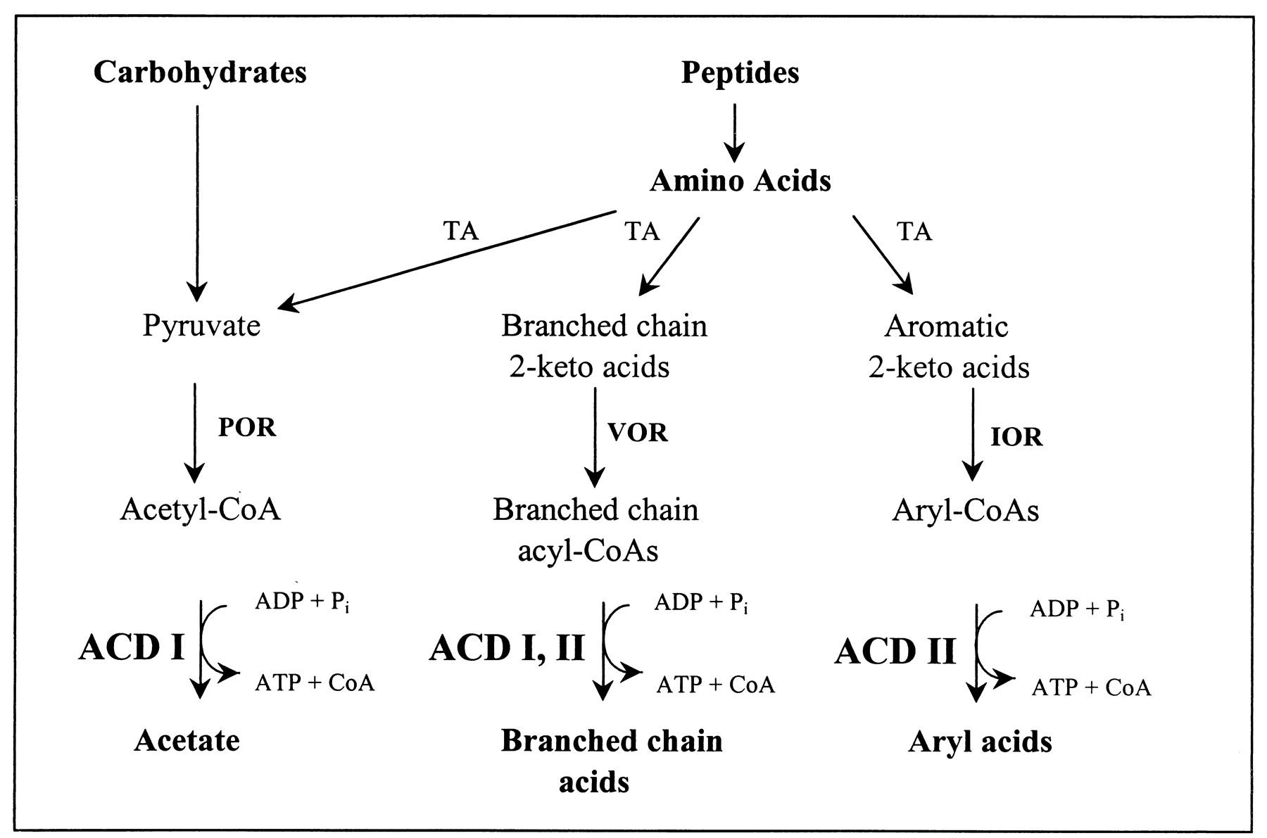acetate-coa ligase
