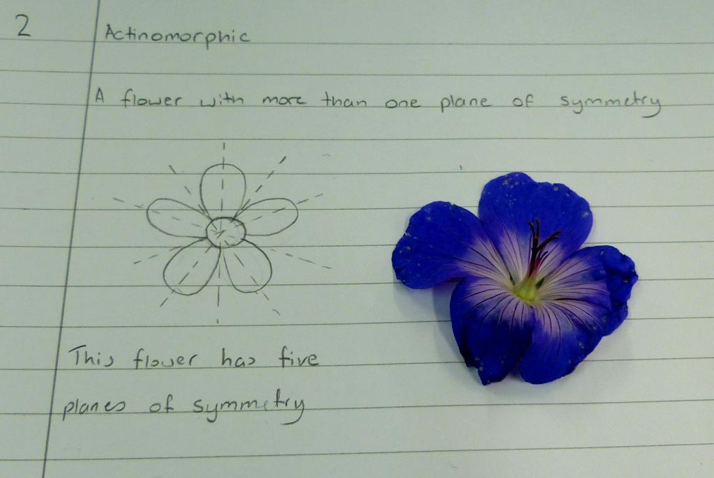 actinomorphic