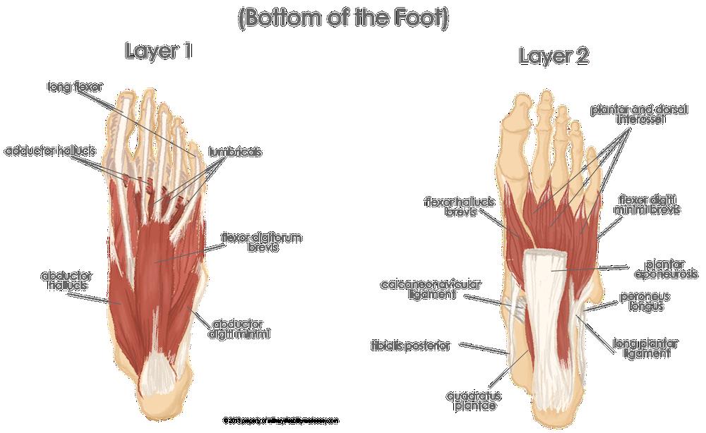 adductor muscle of big toe