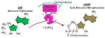 adenylate cyclase