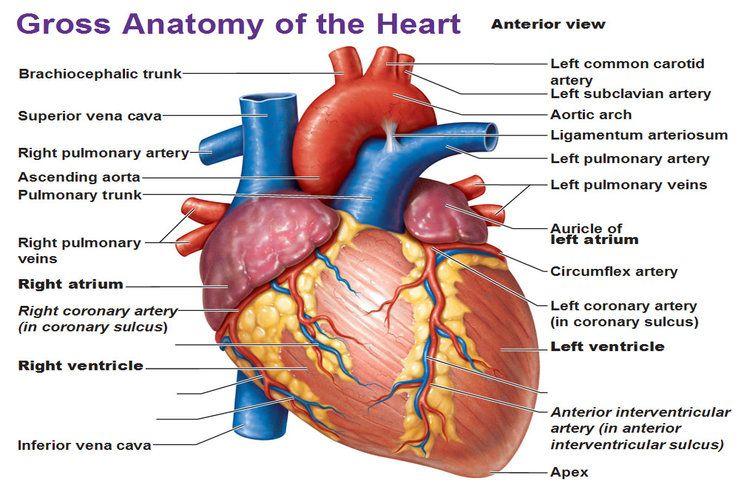 atrial auricle