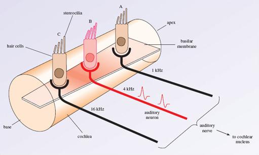 auditory hair