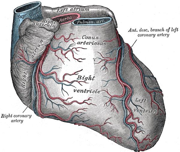 auricular appendix