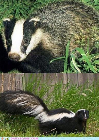 badger skunk