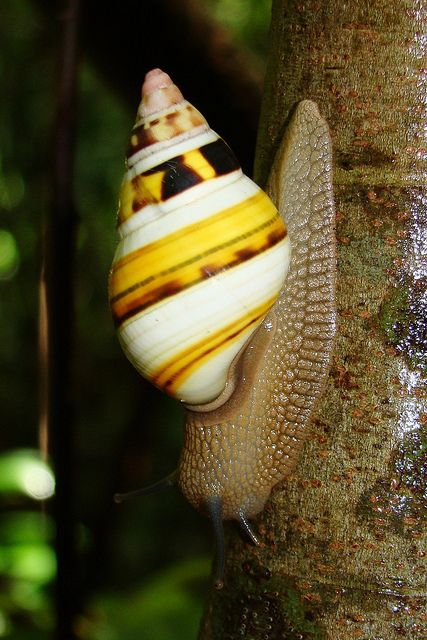 banded florida tree snail
