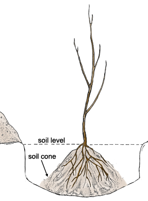 bare-root