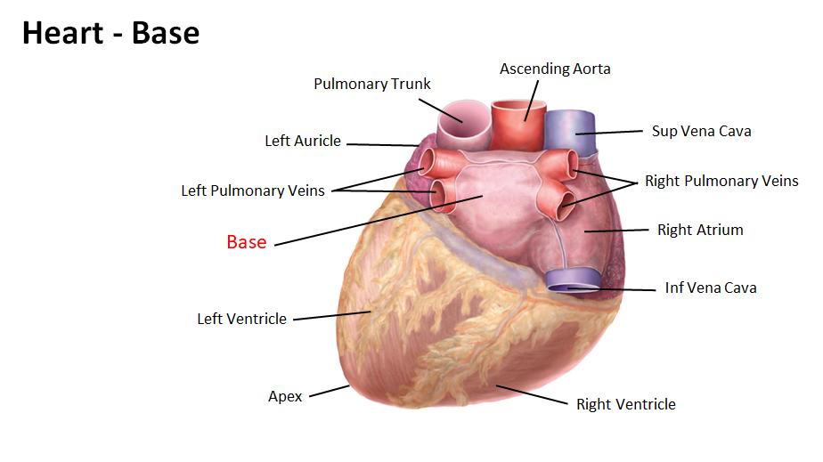 base of heart