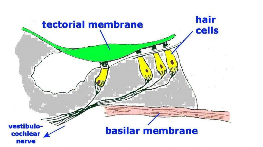 basilar membrane