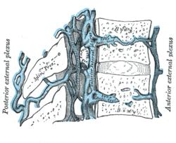 basivertebral vein
