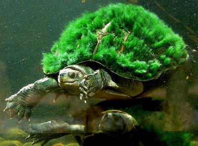 bastard turtle