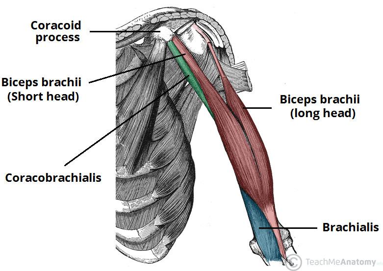 brachial muscle