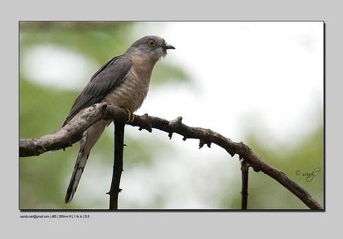 brain-fever bird