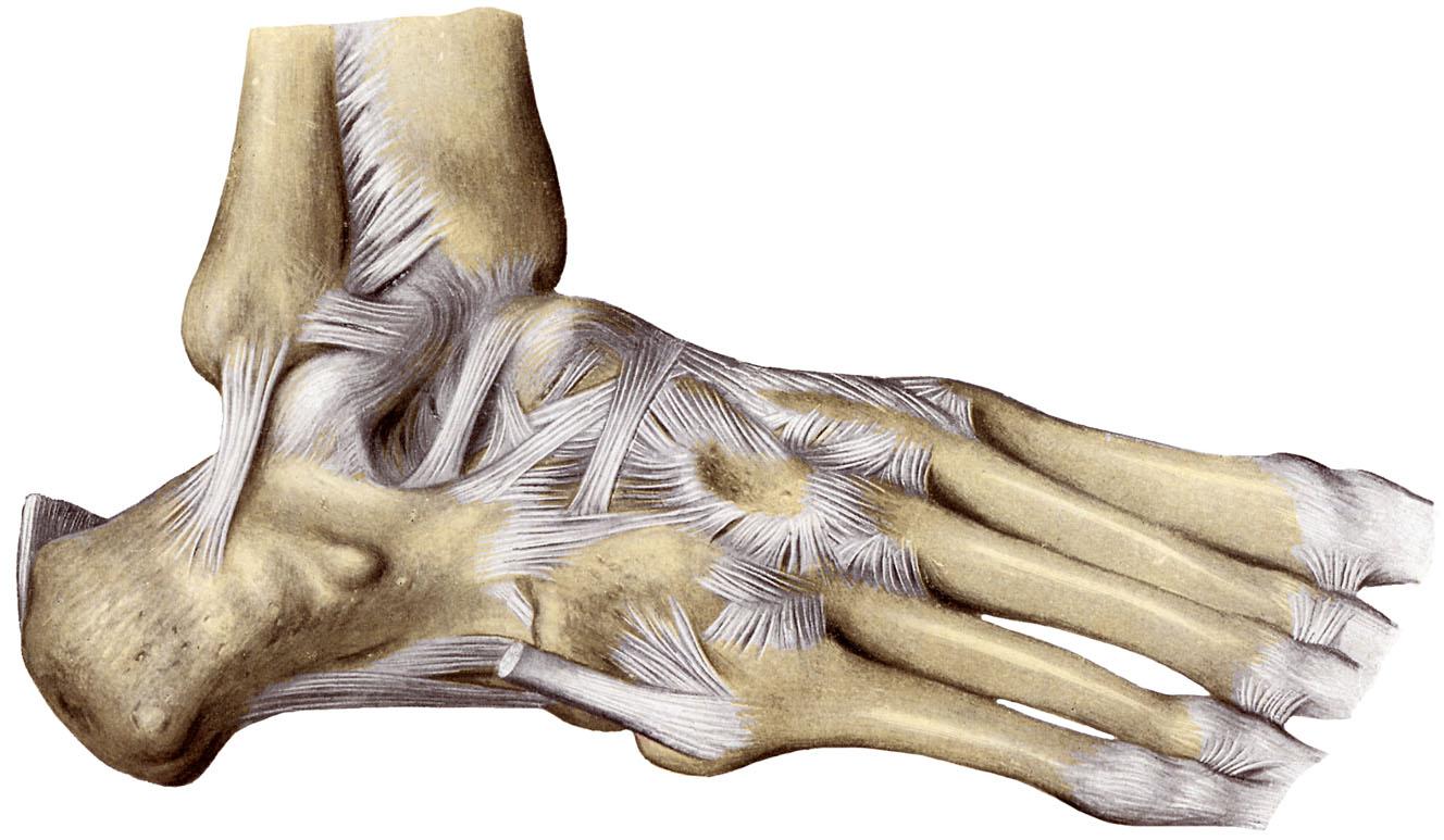calcaneocuboid ligament