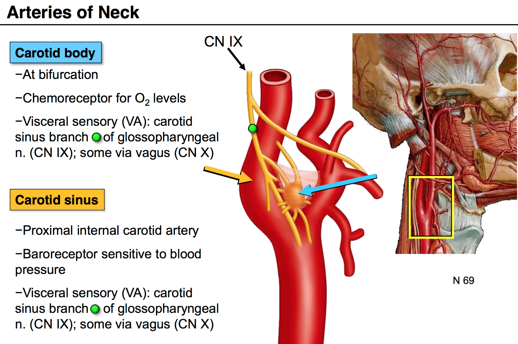 carotid body