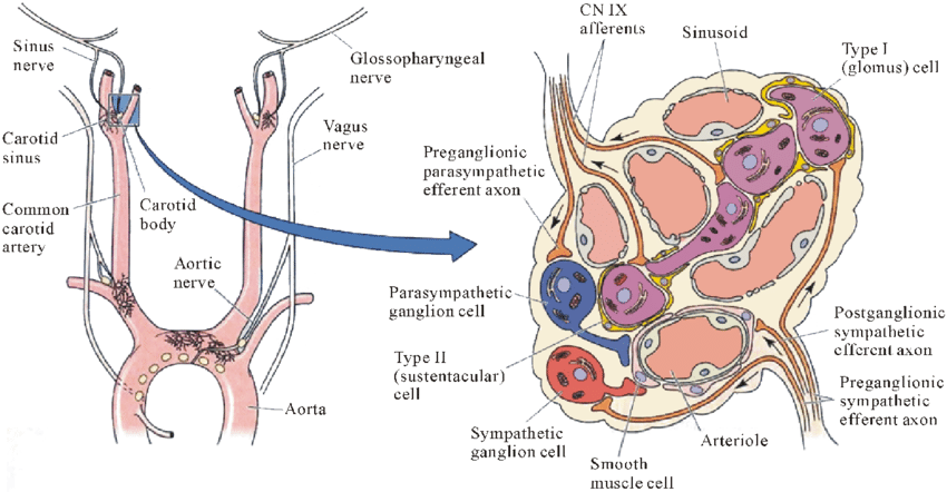 Location and microscopic anatomy of carotid body [2]. (a) Location of