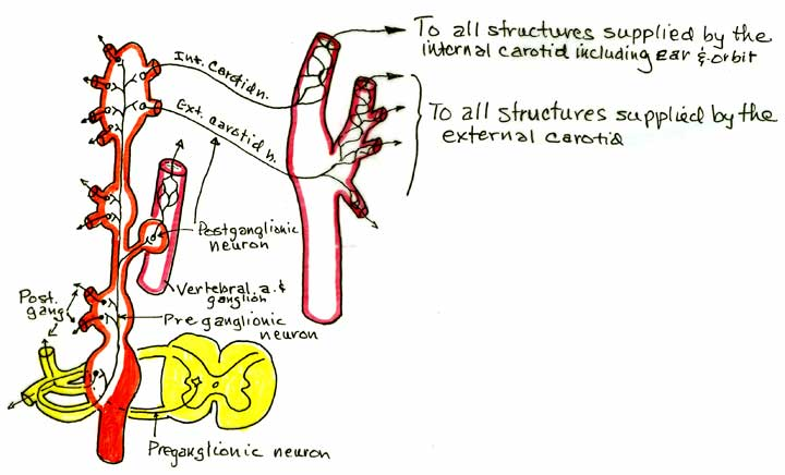 there always?): some fibers leave the internal carotid plexus as the  deep petrosal nerve. More on this in the story of the pterygopalatine  ganglion.