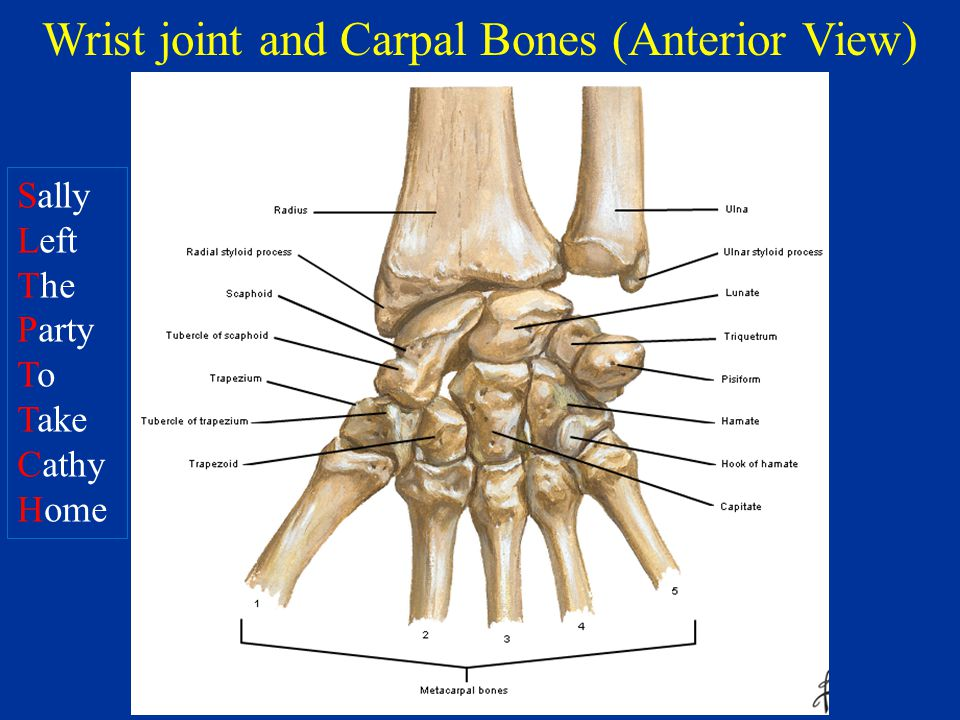 Carpal Joint Liberal Dictionary