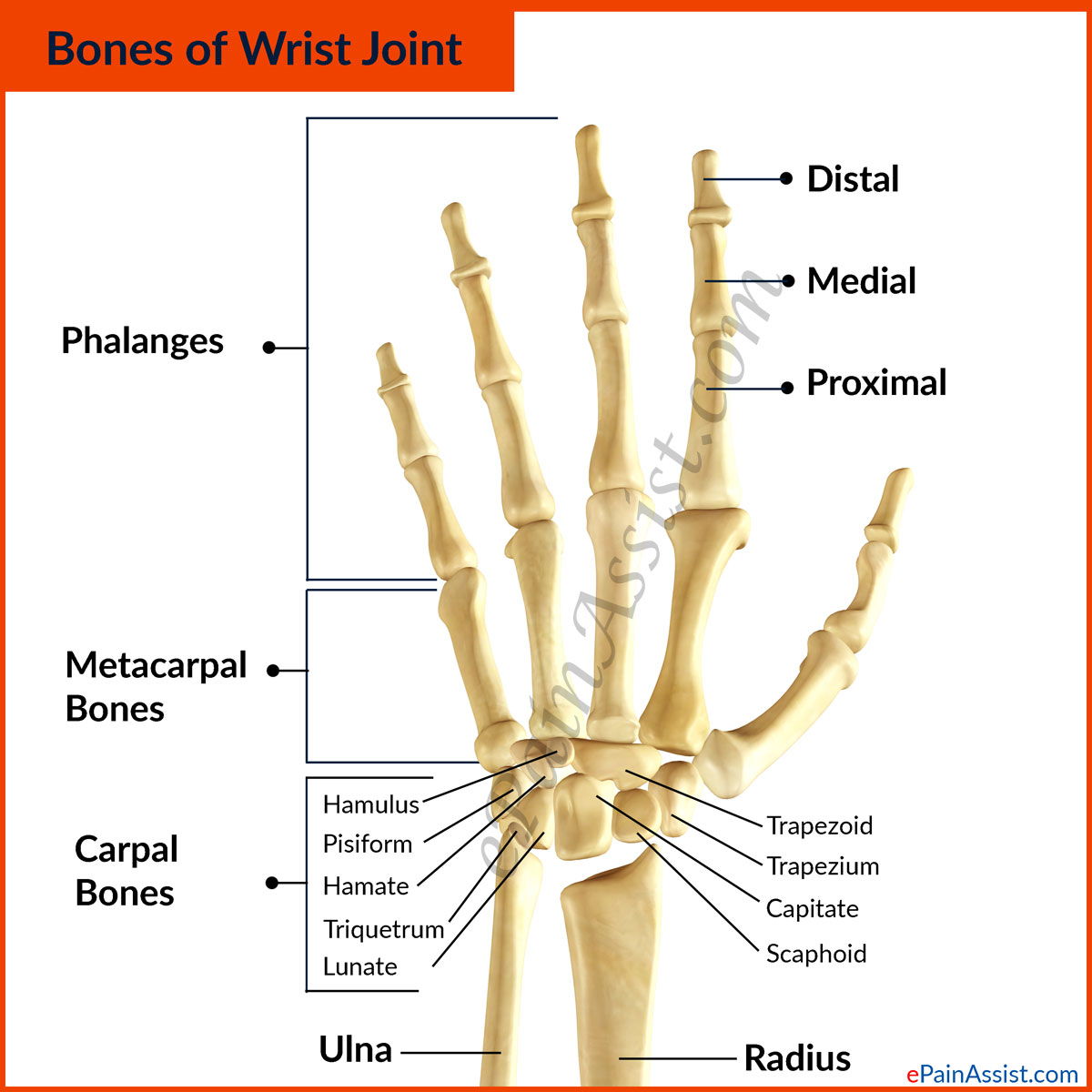 The Three Sections of the Wrist Joint Are As Follows-