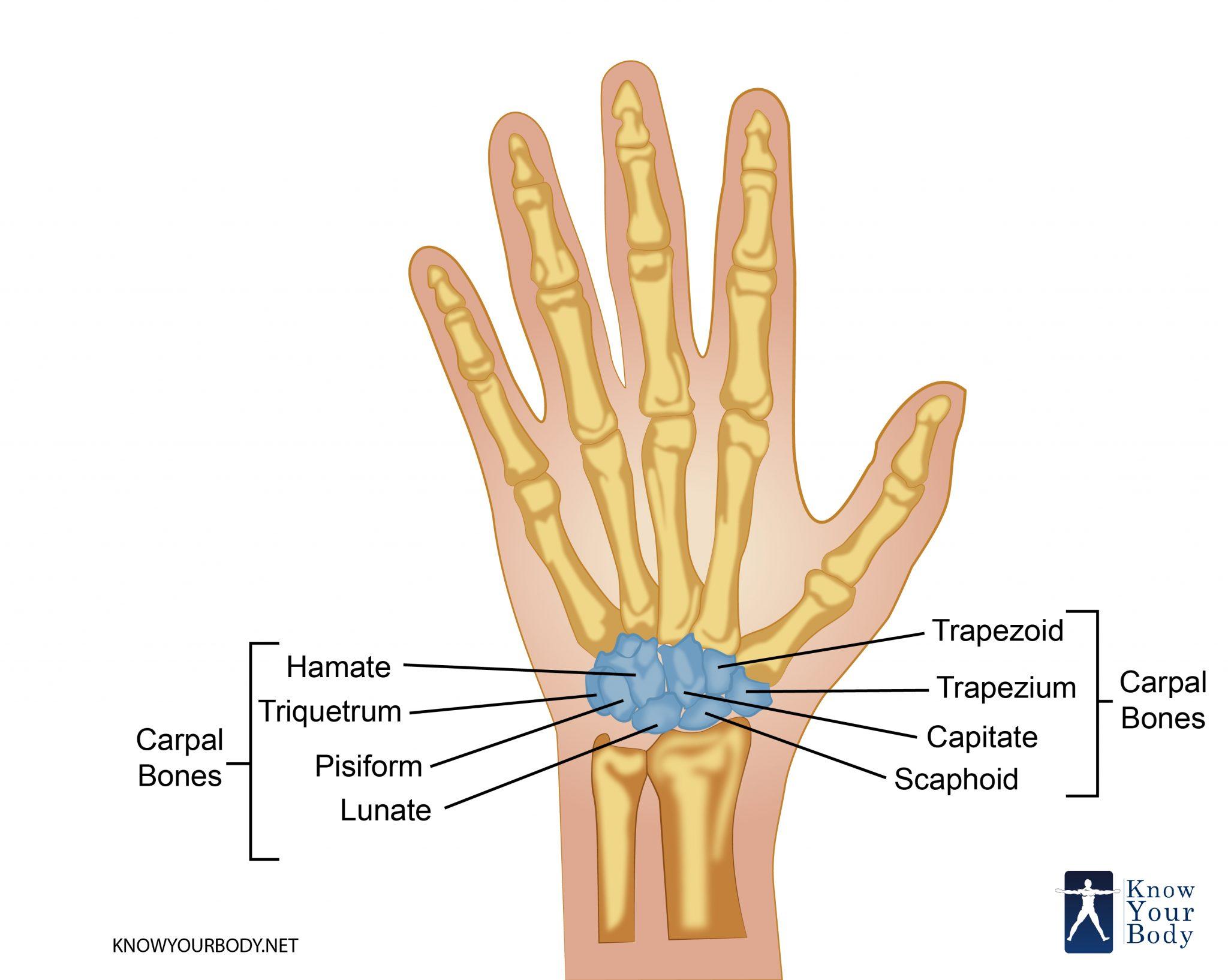 Carpal Bones Location