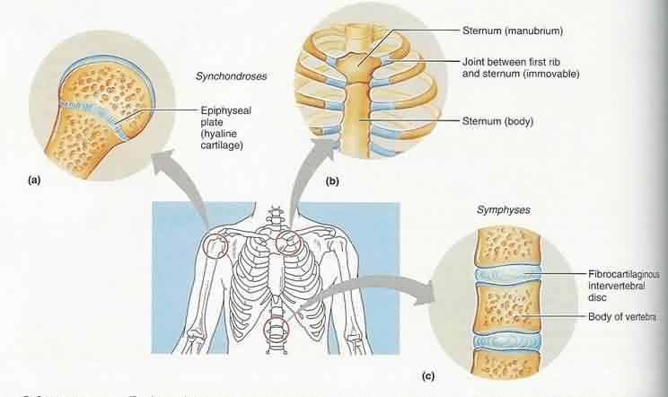 cartilaginous joint