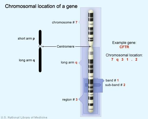 chromosome band