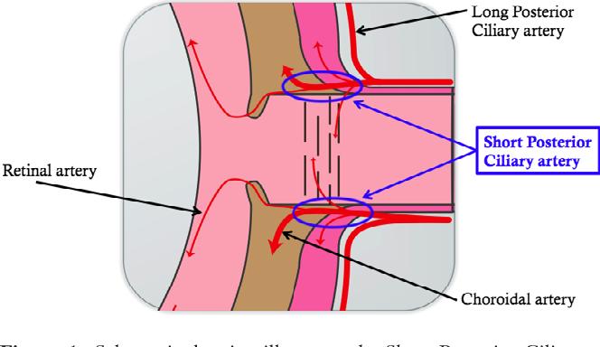 ciliary artery