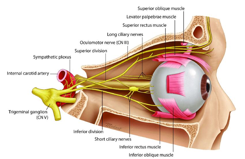 ciliary ganglion