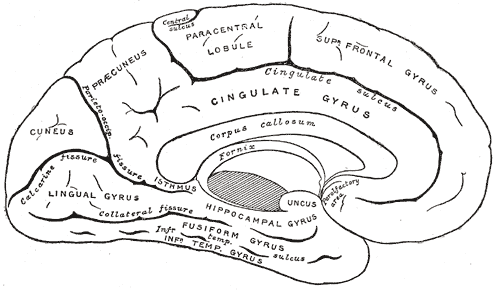 cingulate sulcus