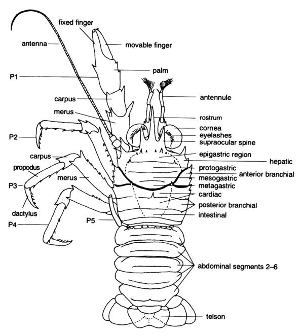 dactylus