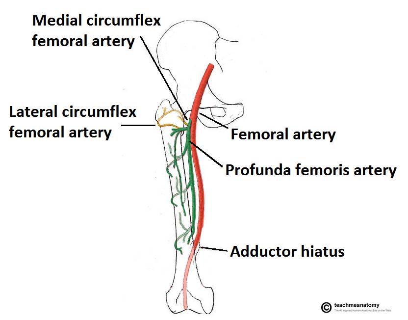 deep artery of thigh