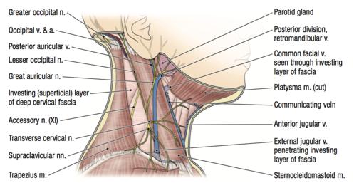 deep cervical vein