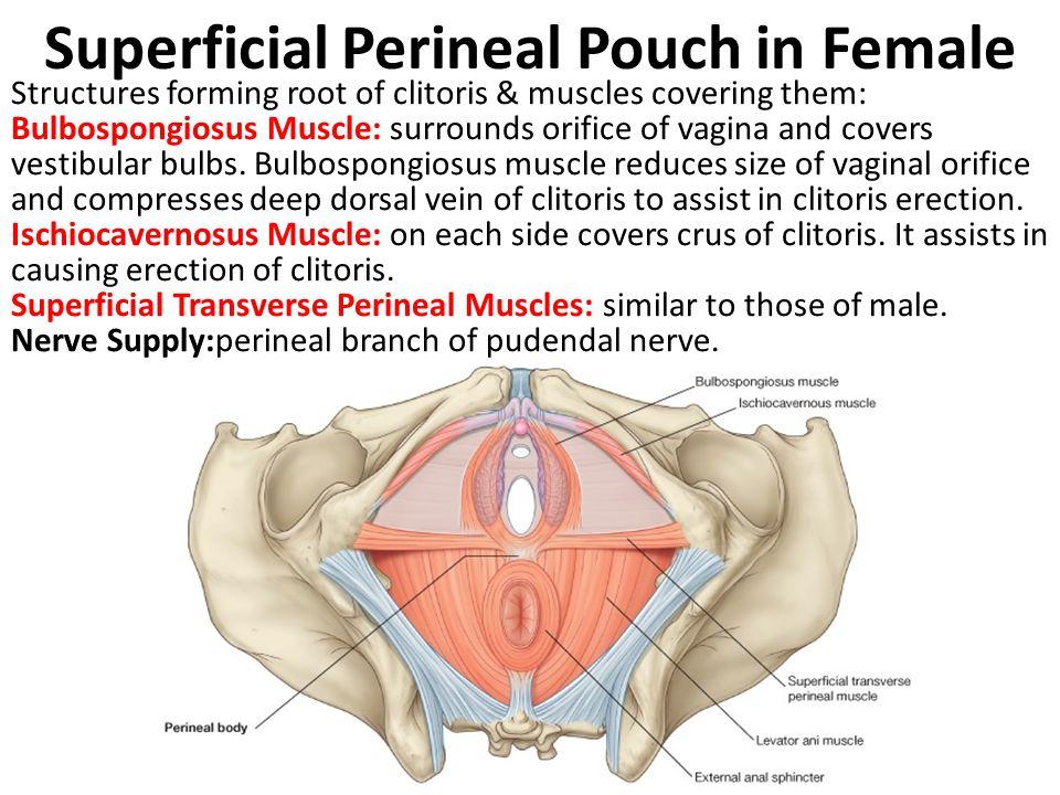 deep dorsal vein of clitoris