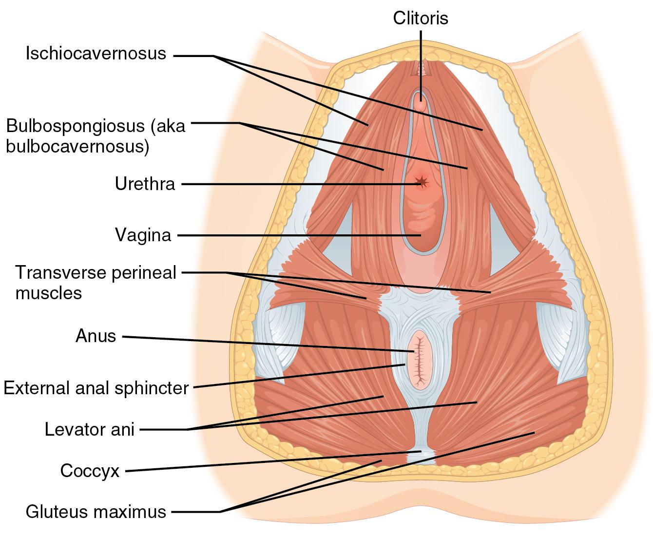 deep transverse muscle of perineum