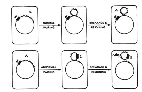 defective bacteriophage