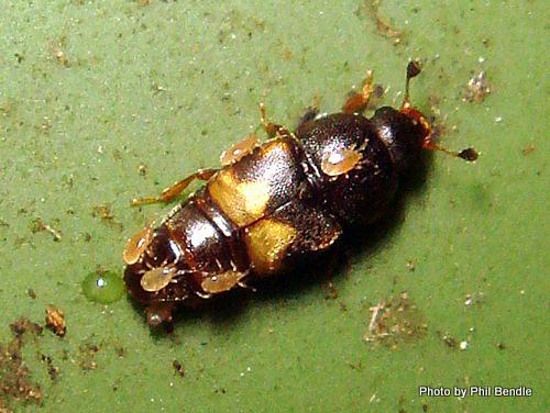 dried-fruit beetle