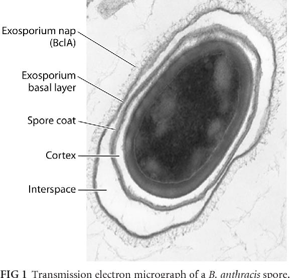 exosporium