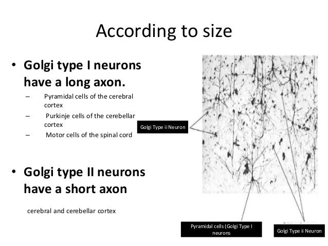 Golgi type I neuron