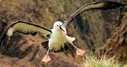gooney bird