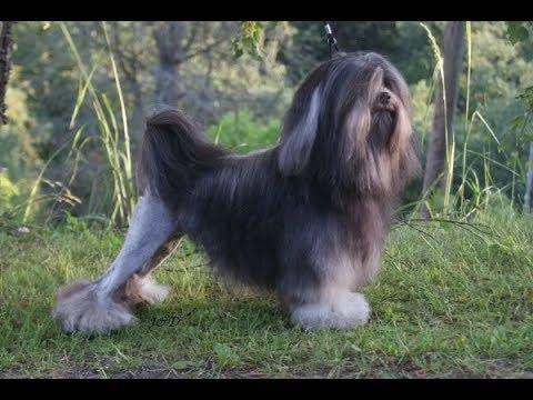 little lion dog