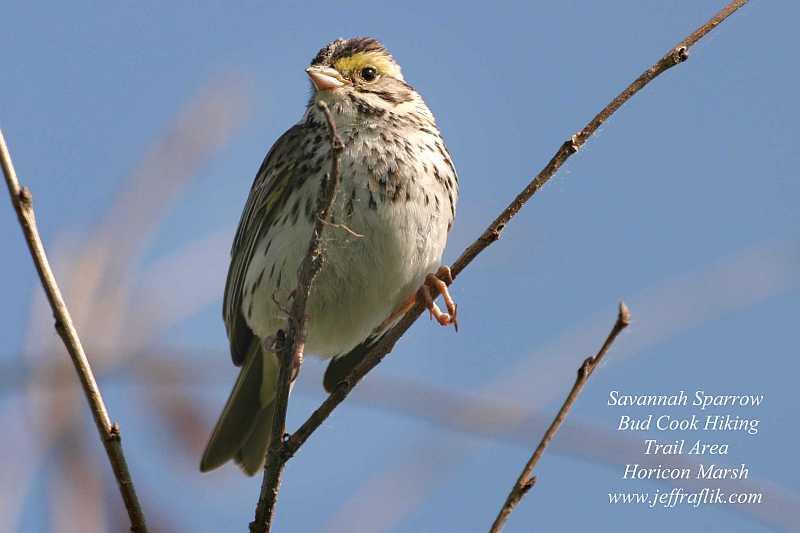 locust bird