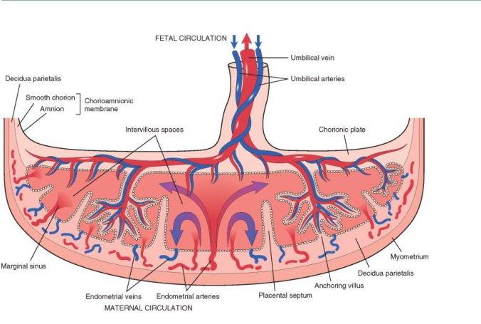 marginal sinus of placenta