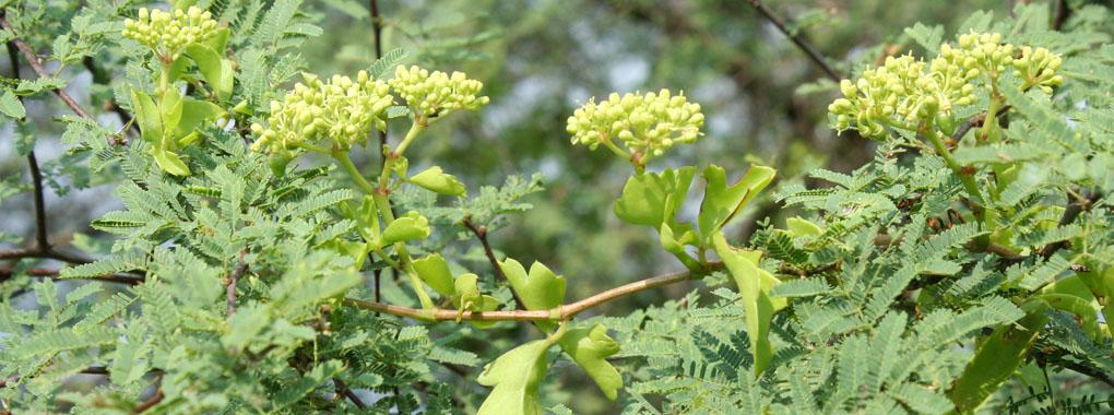 marine ivy
