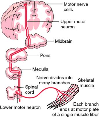 peripheral motor neuron