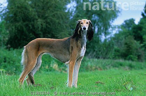 Persian greyhound