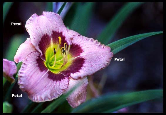 petaloid