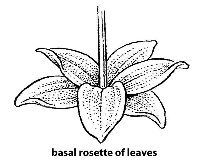 rosulate